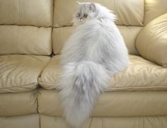 Chinchilla silver persian Crystal Ice Lexus