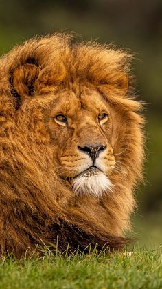 Lion Wallpapers / Lion Wallpapers- Aslan Duvar Kağıdı / Lion Wallpapers Lion Wallpaper, Background Pictures Lion Wallpapers the is - Lion Wallpaper, Nature Wallpaper, Background Pictures, Chris Hemsworth, Wild West, Latina, Pikachu, Cute Animals, Abstract