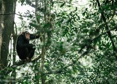 One of most unique experiences in Uganda, the private capital of the world,  is tracking wild chimpanzees in the Kibale Rainforest. The $200 permits are in high demand, and should be booked well in advance. #uganda #kibale #chimpanzees Gorilla Trekking, Uganda Travel, Mountain Gorilla, List Of Activities, Paradise Found, Baboon, Chimpanzee, Photo Location, Safari