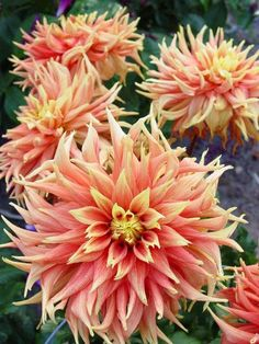 The Dahlia Garden is one of the most favored locations for photographers at Mendocino Coast Botanical Gardens. Rare Flowers, Exotic Flowers, Tropical Flowers, Amazing Flowers, Beautiful Flowers, Purple Flowers, Gerbera, Blossom Garden, Dahlia Flower