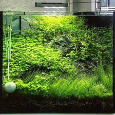 NA Layout - no trimming  #FAAO #Aquaflora #Aquascaping #Planted #Aquarium #Aquatic #Plant #Freshwater #Aqvainnova