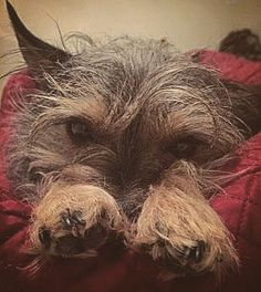 She just has the littlest paws  #dog #dogs #dogsofinstagram #puppy #puppies #zymox #zymoxfamily #zymoxpets #pawsome #cute #cocopixie #paws #chihuahua #miniatureschnauzer #schnauzersofinstagram #chihuahualove #chihuahuas #chihuahuasofinstagram #chihuahuamix #texas #texaslife #austin #austintx #adorable #cutepuppies #love #lovedogs #lovepuppies #teacupchihuahua #toyschnauzer by coco_pixie