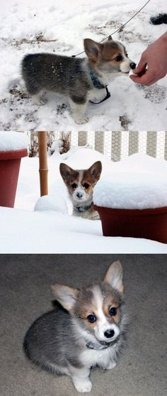 Corgi puppies are one of  my weakness's.  Look - they even like the SNOW!!!