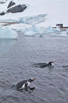 Penguins taking a dip