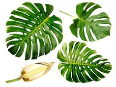 Photo : Green Monstera leaf group isolated on white background with fruit