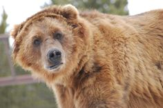 One of the grizzly bears at the Grizzly and Wolf Discovery Center