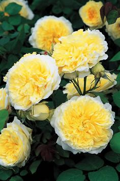/ The Pilgrim Climber, a David Austin Rose The fragrant flowers are strong and perfectly shaped. A pure egg yolk yellow rose with the outer edges laced in white. Roses David Austin, David Austin Rosen, Types Of Flowers, Pretty Flowers, Beautiful Roses, Beautiful Gardens, Rose Foto, Love Rose, Asian Garden