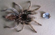 shed tarantula skin