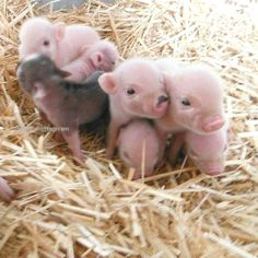 Today's share: pet pigs - Page 6 of 18 - Gloria Love Pets Cute Baby Pigs, Baby Animals Super Cute, Baby Piglets, Cute Piglets, Cute Little Animals, Cute Funny Animals, Cute Babies, Baby Animals Pictures, Cute Animal Photos