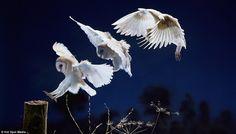 Landing owl - Kim Taylor