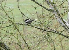 Judy Storgaard's photo of white-tailed chickadee.