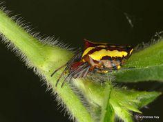https://flic.kr/p/23wC8fu | Pretty orbweaver, Alpaida bicornuta | from Ecuador: www.flickr.com/andreaskay/albums