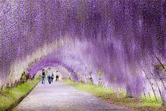 Tunnel Wisteria aux Jardins Kawachi Fuji, au Japon