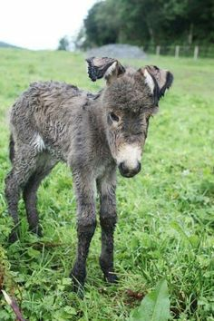 Awwwww-newborn donkey foal - his ears are still curled from being packaged in a small space! Or maybe that was Lorchan of the Donkey Sanctuary in Ireland, who ran into a barbed wire fence and it cut his ears so badly they never stood up again. Baby Donkey, Cute Donkey, Mini Donkey, Donkey Donkey, Baby Cows, Baby Elephants, Cute Baby Animals, Farm Animals, Animals And Pets