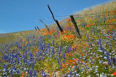 Wildflowers, Gorman, California