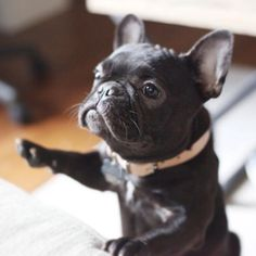 """Question...where's my Dinner?"", French Bulldog Puppy."