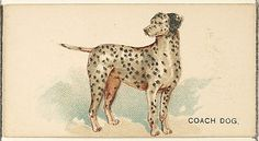 Issued by Goodwin & Company. Coach Dog, from the Dogs of the World series for Old Judge Cigarettes, 1890. The Metropolitan Museum of Art, New York. The Jefferson R. Burdick Collection, Gift of Jefferson R. Burdick (Burdick 214, N163.28) #dogs