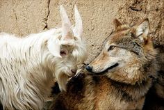 Animal odd couples What an interesting pair! This wolf and goat are inseparable best buds.