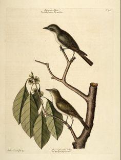 Symplocos tinctoria (L.) L'Hér. Common Sweetleaf, Horsesugar Catesby Volume I plate 54