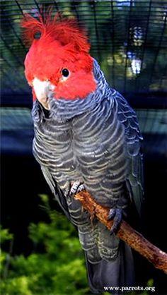 World Parrot Trust Colorful Parrots, Colorful Birds, Kinds Of Birds, All Birds, Australia Animals, African Grey Parrot, Australian Birds, Cockatoo, Nature Animals