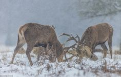Steve Mclaren sent in this picture of two red deer locking antlers in Bushy Park in south west London yesterday