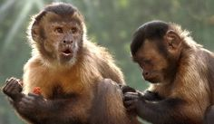 Monkeys' reaction to those who have more? Spite - http://scienceblog.com/479997/monkeys-reaction-to-those-who-have-more-spite/