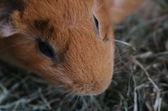 Read my 14 misconceptions about guinea pigs. You may have heard of some of these myths. Guinea Pig Care, Guinea Pigs, Pets, Animals, Animales, Animaux, Animal, Animais, Animals And Pets