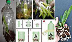 Esse método é uma tentativa de recuperar as orquídeas enfraquecidas, mas não quer dizer que em todos os casos dará certo, podendo haver perdas