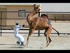 Best Videos | Angry Camel Qurbani 2016 | 2017 Eid ul Adha