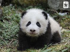 baby pandas | ... bit of a wwf cliche the cute cuddly baby panda but still emblematic