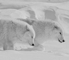 Arctic wolves taking a stroll in the snow!