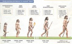 Human Timeline (We are Homo Sapiens) Who created the Cave Art? Early Humans, First Humans, Human Evolution Tree, Hominid Species, Homo Habilis, History Projects, Science Activities, Social Science, History Facts