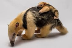 Baby Anteater and Mama