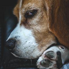 Eliminate Over 30+ Common Behavioral Beagle Issues - Beagle #beagle