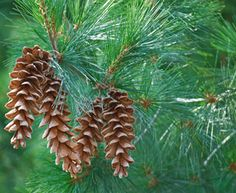 Learn how to identify a white pine like an expert! Detailed is an easy-to-follow guide on the unique characteristics of white pines: needles, cone shape, and tree bark. Once you identified your white pine, it's time to properly care for it and proactively mitigate potential threats.