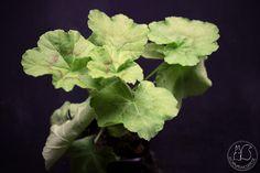 Oravankesäpesä | Koristelehtinen ruusunnuppu Pelargonium 'Brightstone'