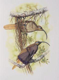 William T. Cooper - Buff tailed Sicklebill