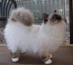 Birman cat fluff ! I love birmans the best cat in the world!!