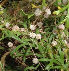 Tenerife parasitic plants: Dodder and Cytinus hypocistis