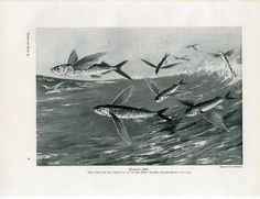 http://www.ebay.com/itm/c1900-MARINE-SEA-FLYING-FISH-Antique-Litho-Print-W-Bolsche-/331483661639?ssPageName=ADME:SS:SS:US:1120