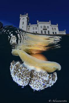 Medusa Cassiopea mediterranea (Cotylorhiza tuberculata) sotto il castello di Miramare (Trieste).