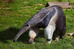 Giant Anteater | by sparky2000