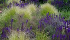 Frontgarden nature with wonderful grasses and Salvia Caradonna