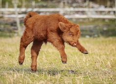 Give this 3 week old highland calf a name guys! I want some fun ones Photo by Explore. Cute Baby Cow, Baby Animals Super Cute, Cute Cows, Cute Little Animals, Cute Funny Animals, Cow Pictures, Baby Animals Pictures, Cute Animal Pictures, Baby Farm Animals