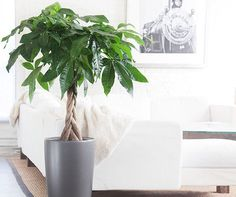 The money plant is a popular cure in all feng shui schools. Learn how to choose and use the money tree to attract the energy of wealth and prosperity. Best Indoor Plants, Cool Plants, Indoor Garden, Indoor Trees, Balcony Garden, Live Plants, Feng Shui Money Tree, Pachira Aquatica, Feng Shui Plants