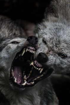 🐺If you Love Wolves, You Must Check The Link In Our Bio 🔥 Exclusive Wolf Related Products on Sale for a Limited Time Only! Tag a Wolf Lover! 📷: Please DM . No copyright infringement intended. All credit to the creators. Wolf Photos, Wolf Pictures, Wolf Love, Bad Wolf, Wolf Spirit, Spirit Animal, Beautiful Wolves, Animals Beautiful, Animals And Pets