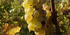 Tissot Crémant du Jura 2014. Det beste fra Jura? Pinot Noir, Wine