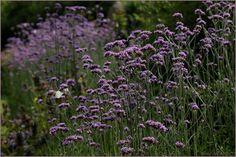 Barwy Ogrodu: Jeszcze werbena patagońska... inspiracje z ogrodu pokazowego...