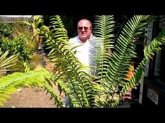 Encephalartos Expert speaks on endangered plants. World renowned Encephalartos expert Maurice Levin speaks on the importance of perpetuating endangered plant species through propagation and preservation. http://Enviroscapela.com