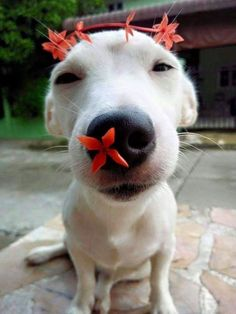 This dog is so funny, with the flowers. Just look at all the different pictures of him with flowers on him he's so funny.